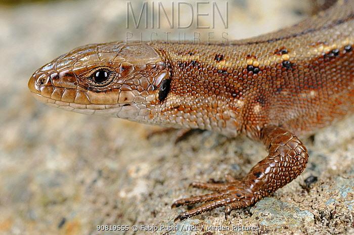 Viviparous lizard, (Zootoca vivipara), close-up of the head, Alps, Italy, September . Non-ex.