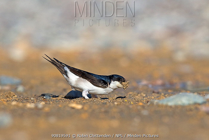 House martin (Delichon urbicum) on ground, collecting sand for nest. Cyprus. April.