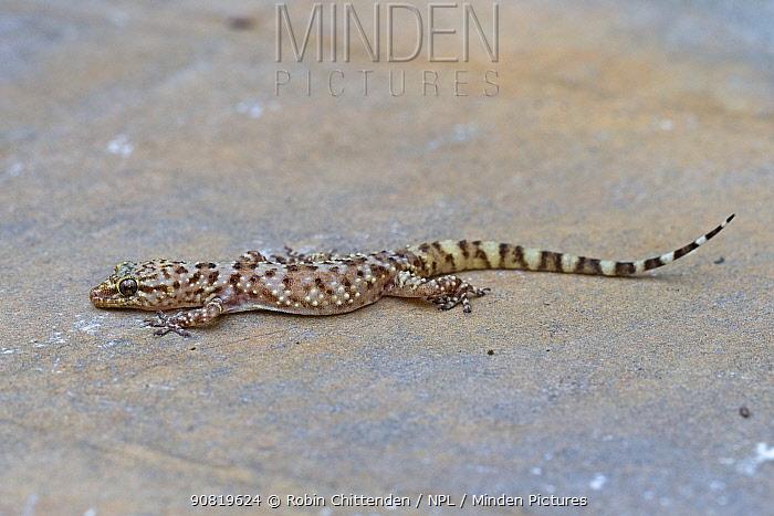 Mediterranean house gecko (Hemidactylus turcicus). Cyprus. April.