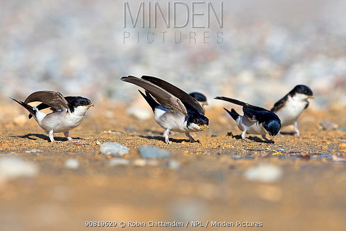 House martin (Delichon urbicum) group on ground, collecting sand for nests. Cyprus. April.