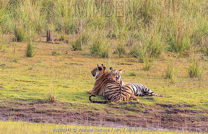 Bengal Tiger (Panthera tigris) siblings resting, Tadoba National Park, India