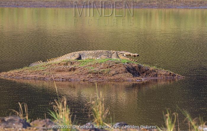 Mugger crocodile (crocodylus palustris) basking in sun, Tadoba National Park, India