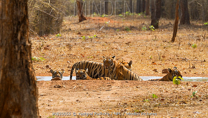 Bengal tiger (Panthera tigris) family of four sub-adult cubs and mother, cooling off in artificial waterpool, Tadoba National Park, India,