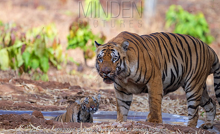 Bengal tiger (Panthera tigris) dominant male with his cub, Tadoba National Park, India