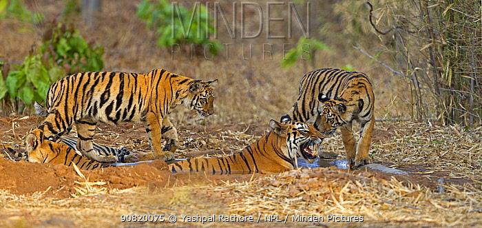 Bengal tiger (Panthera tigris) female with her cubs sharing small water pool, Tadoba National Park, India