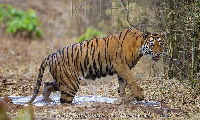 Bengal tiger (Panthera tigris) female coming out of water, Tadoba National Park, India