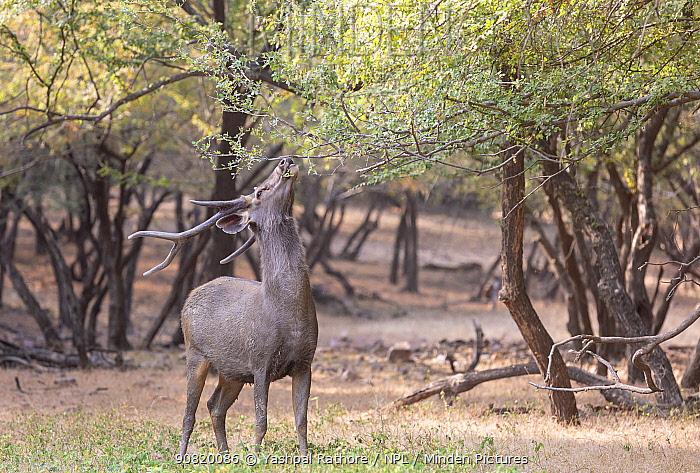 Sambar (Cervus unicolor) stag feeding,Ranthambore National Park, India