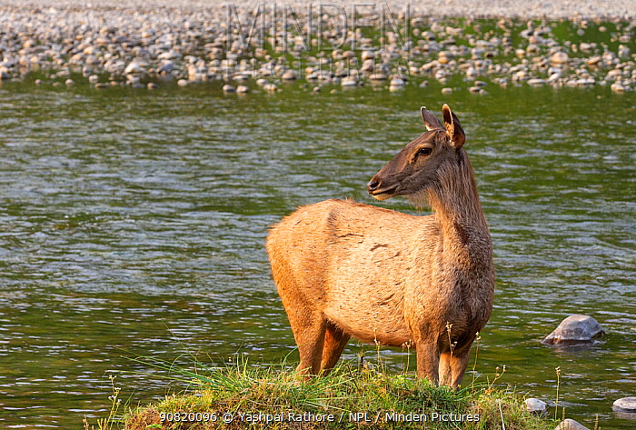 Sambar (Cervus unicolor) cautiously watching possible threat while crossing Ramganga river, Jim Corbett National Park, India.
