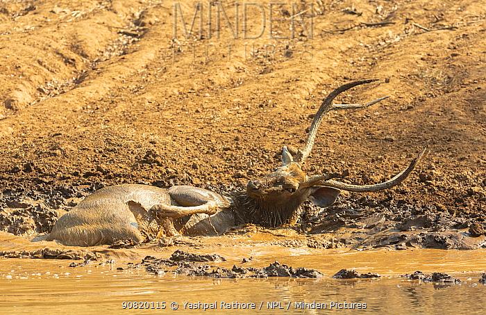 Sambar (Cervus unicolor) stag wallowing to beat summer heat, Ranthambore National Park, India