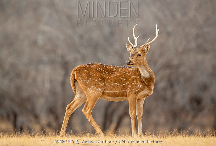 Spotted deer(Axis axis), young male, Ranthambore National park, India