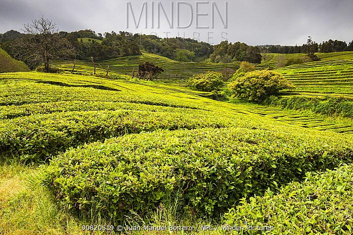 Gorreana tea plantations. Sao Miguel Island, Azores, Portugal. 2019.