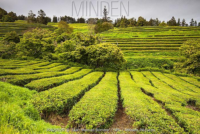Gorreana tea plantations, Sao Miguel Island, Azores, Portugal. 2019.