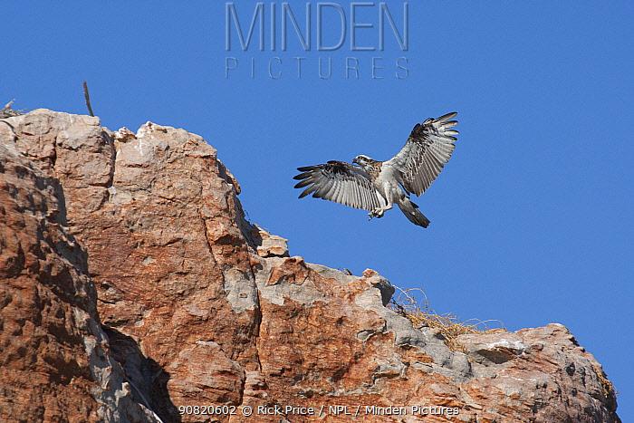 Eastern osprey (Pandion cristatus) juvenile practicing flight around nest. Bigge Island, Bonaparte Archipelago, The Kimberley, Western Australia.