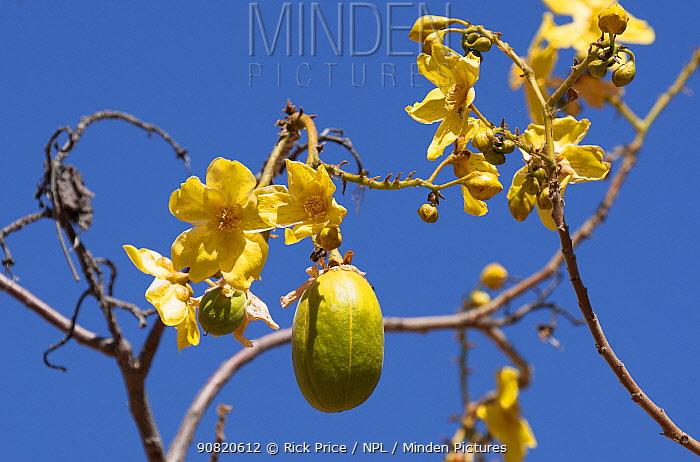 Kapoc tree(Chorisia speciosa) flowers and fruit. Ord River, The Kimberley, Western Australia.