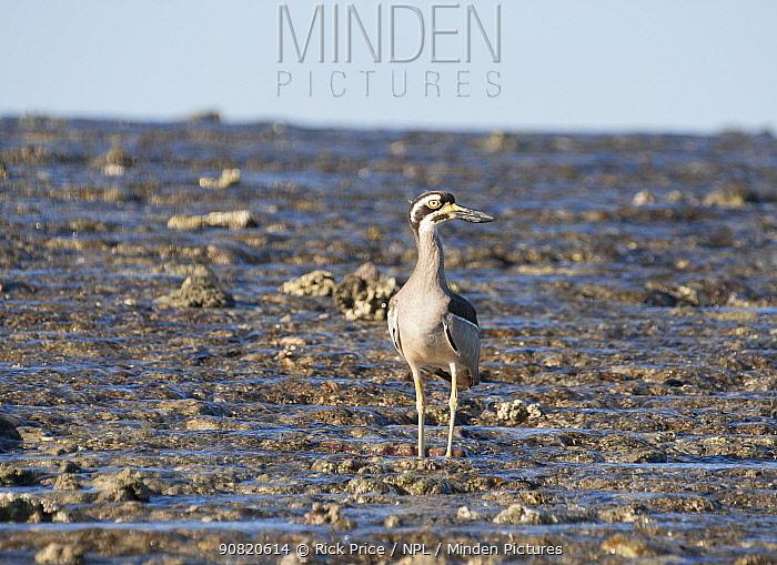 Beach stone-curlew (Esacus magnirostris) standing on exposed reef. Montgomery Reef, Doubtful Bay, The Kimberley, Western Australia.
