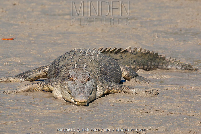 Estuarine crocodile (Crocodylus porosus) basking on mudbank. Prince Frederick Harbour, Hunter River, The Kimberley, Western Australia.