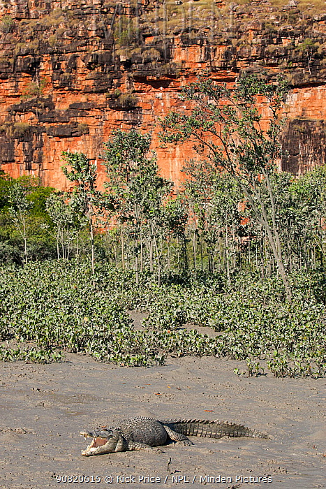 Estuarine crocodile (Crocodylus porosus) basking on mudbank below cliff. Prince Frederick Harbour, Hunter River, The Kimberley, Western Australia. 2016.