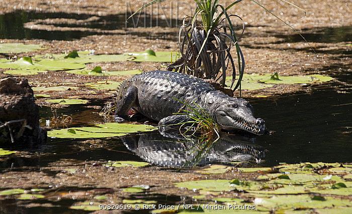 Western Australian freshwater crocodile (Crocodylus johnsoni) basking on tree stump in river. Ord River, The Kimberley, Western Australia.