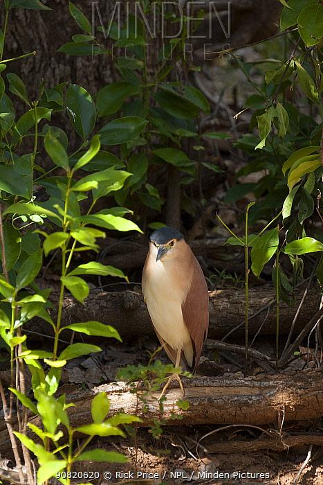 Nankeen night heron (Nycticorax caledonicus) standing on log. Ord River, The Kimberley, Western Australia.