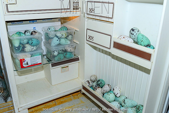 Seabird eggs including those of Common murre/ guillemot (Uria aalge) in fridge. Collected from Skoruvikurbjarg cliffs, Langanes Peninsula, Iceland. May 2018.