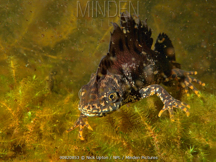Great crested newt (Triturus cristatus) male in a garden pond at night, surrounded by Water fleas (Daphnia pulex), Mendip Hills, near Wells, Somerset, UK, March. Photographed under license.