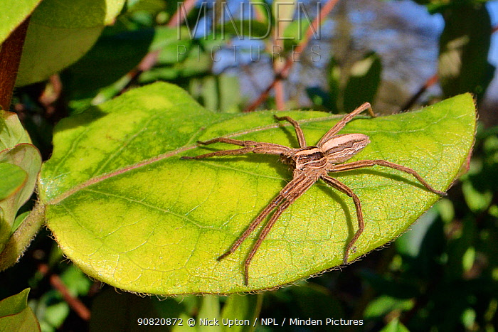 Young female Nursery web spider (Pisaura mirabilis) sun basking on a leaf on a late winter day, Wiltshire garden, UK, February.