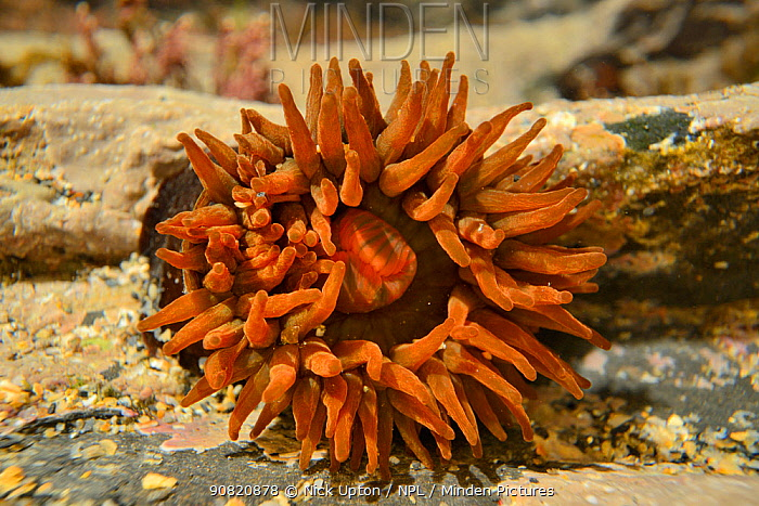 Beadlet anemone (Actinia equina) in a rock pool, Cornwall, UK, March.