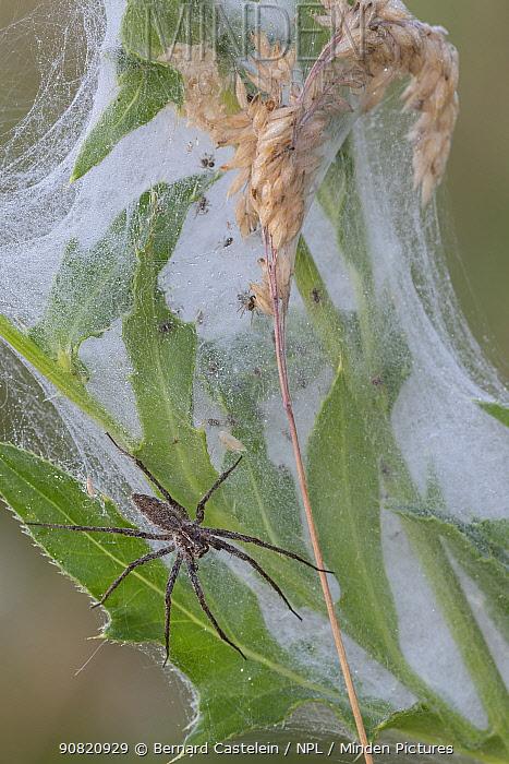 Nursery web spider (Pisaura mirabilis) female guarding spiderlings, Peerdsbos, Brasschaat, Belgium. July