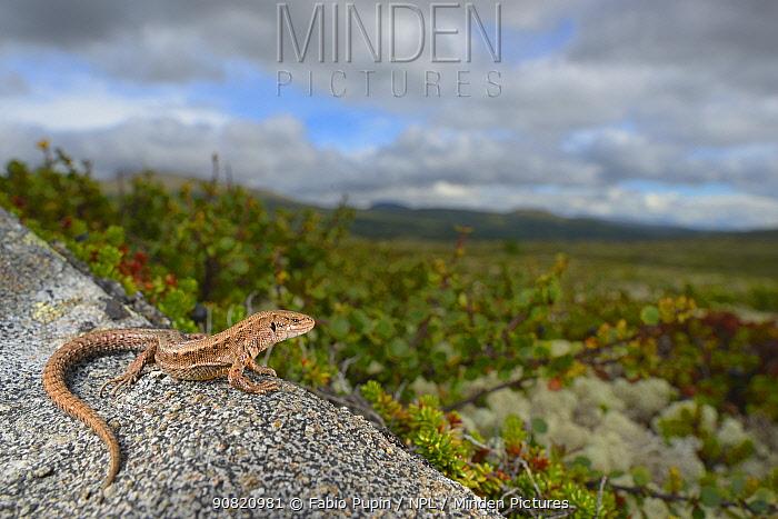 Viviparous lizard (Zootoca vivipara) in habitat. Non-ex.