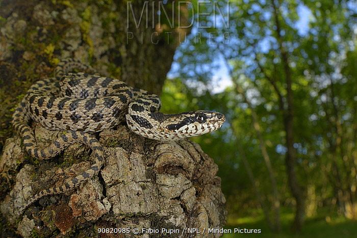 Four-lined snake, (Elaphe quatuorlineata), juvenile coiled on Downy oak (Quercus pubescens) trunk, Croatia, April . Non-ex.