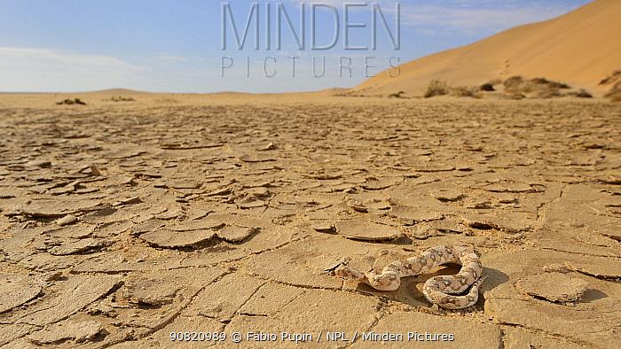 Horned adder, (Bitis caudalis), Namib desert, Namibia, February . Non-ex.