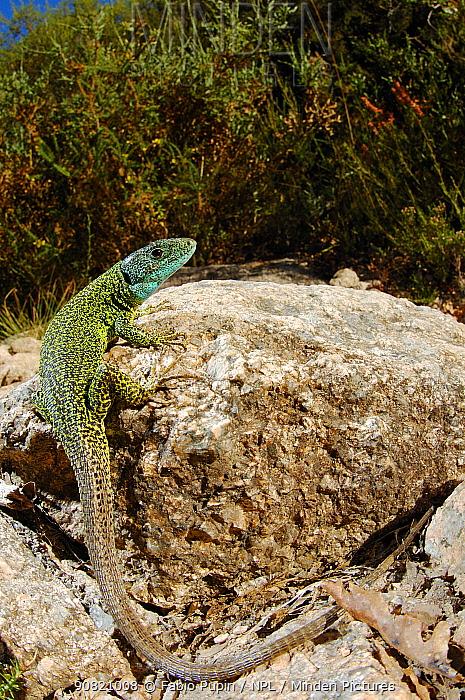 Iberian emerald lizard, (Lacerta schreiberi), male in habitat, Portugal, September . Non-ex.