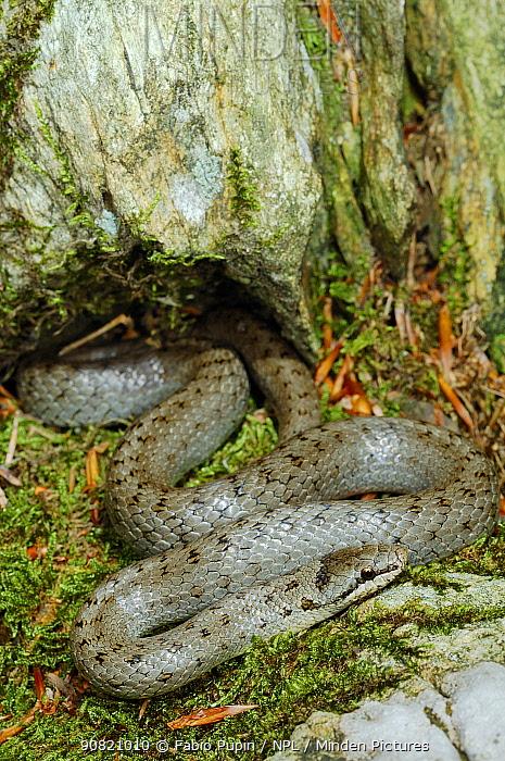 Smooth snake, (Coronella austriaca), Italy, August . Non-ex.