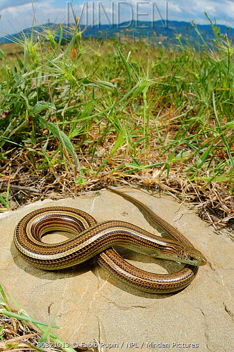 �Italian three-toed skink, 1+Chalcides chalcides+2, Italy, May . Non-ex.
