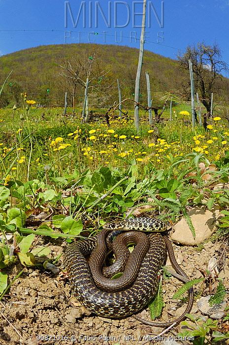 Western whip snake, (Hierophis viridiflavus), basking in garden, Italy, April . Non-ex.