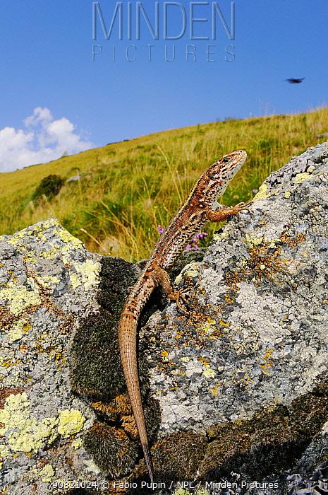Viviparous lizard, (Zootoca vivipara), Alps, Italy, August . Non-ex.