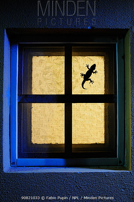 Moorish gecko, (Tarentola mauritanica), hunting on window, Italy, April . Non-ex.