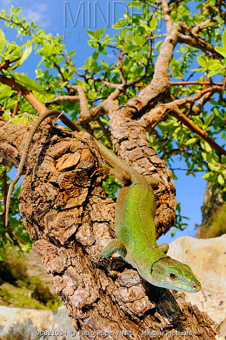 Italian wall lizard, (Podarcis sicula), basking on tree branch, Sicily, Italy, April . Non-ex.