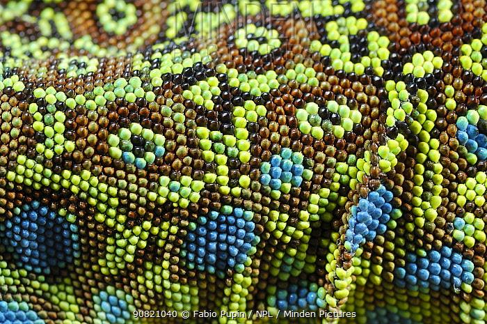Ocellated lizard, (Timon lepidus), detail of skin, France, June . Non-ex.
