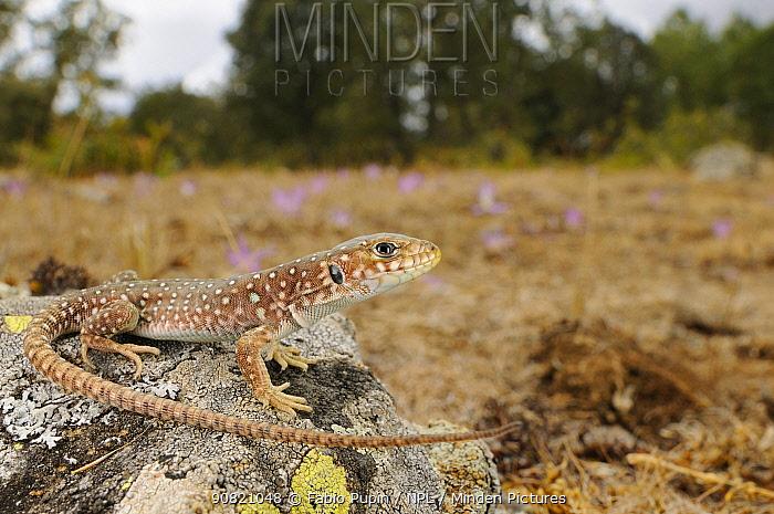 Ocellated lizard, (Timon lepidus), juvenile in habitat, Spain, September . Non-ex.