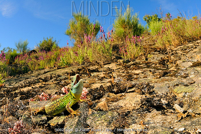 Iberian emerald lizard, (Lacerta schreiberi), female in habitat, Spain, June . Non-ex.