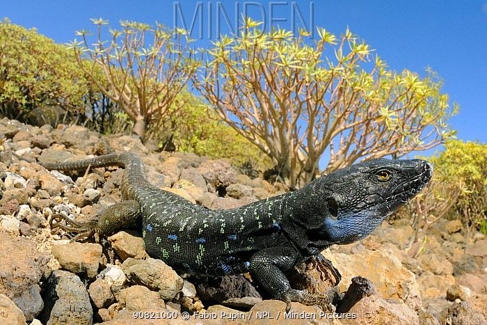 Gallot's lizard, (Gallotia galloti), male in habitat, Tenerife, Canary Islands, Spain, April . Non-ex.