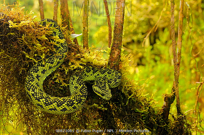 Great Lakes Bush Viper, (Atheris nitschei), hanging from branch in swamp, Kahuzi-Biega NP, Democratic Republic of Congo, November . Non-ex.
