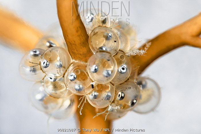 Korean sandlance (Hypoptychus dybowskii) embryos developing inside eggs, on Sargassum, close up. Hokkaido, Japan. May.