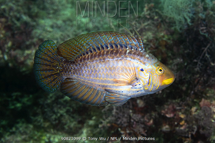 Wrasse (Pteragogus aurigarius) male departing after fight with another male. Shizuoka Prefecture, Honshu, Japan. June.