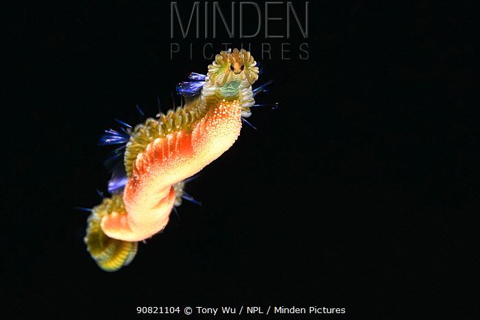 Polychaete worm (Syllidae) as pelagic sexually mature worm / epitoke carrying eggs, prior to spawning. Hakodate, Hokkaido, Japan. May.