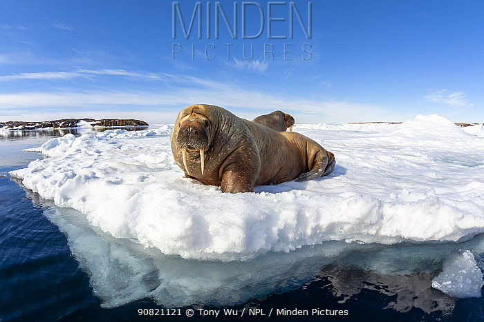 Atlantic walrus (Odobenus rosmarus rosmarus), two hauled out on ice. Svalbard, Norway. July.