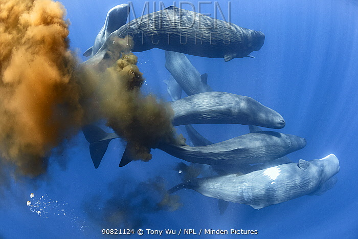 Sperm whale (Physeter macrocephalus), ten swimming together in gathering of more than 50 individuals. Whales with flatulence and defecating. Sri Lanka.