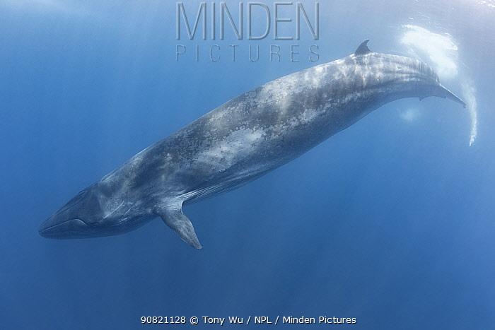 Bryde's whale (Balaenoptera brydei) commencing dive. Sri Lanka.