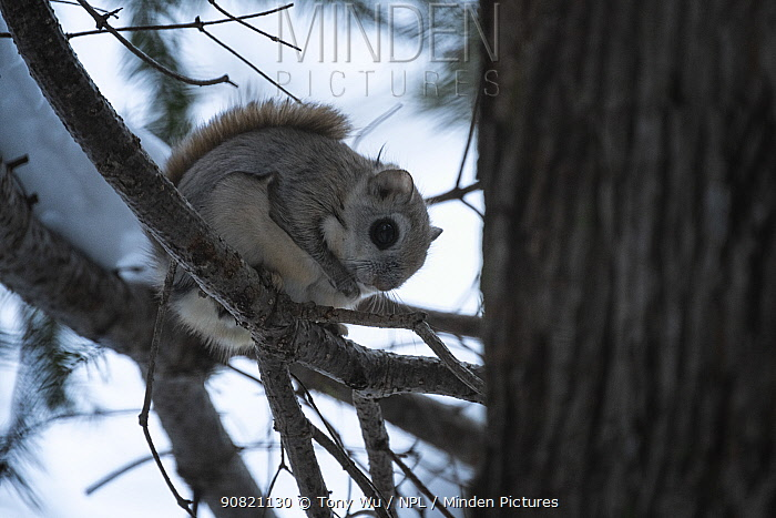 Siberian flying squirrel (Pteromys volans orii) sitting in tree at dusk. Hokkaido, Japan. March.